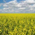 后沙:特鲁多急了:加拿大又一农业巨头被取消油菜籽对华出口许可证|2019-03-28